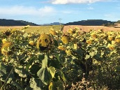 Sunflower field with whimsical face